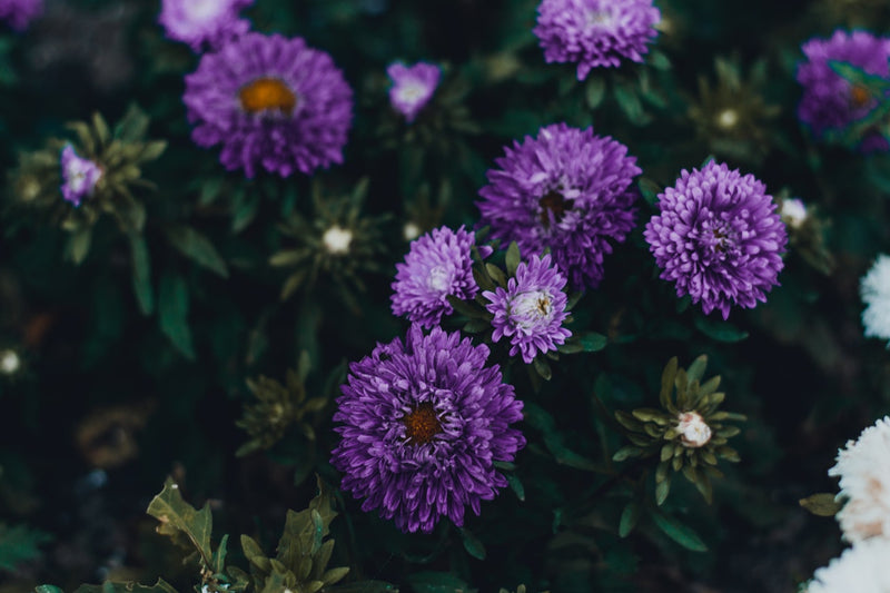 Feature Flower Friday: Asters
