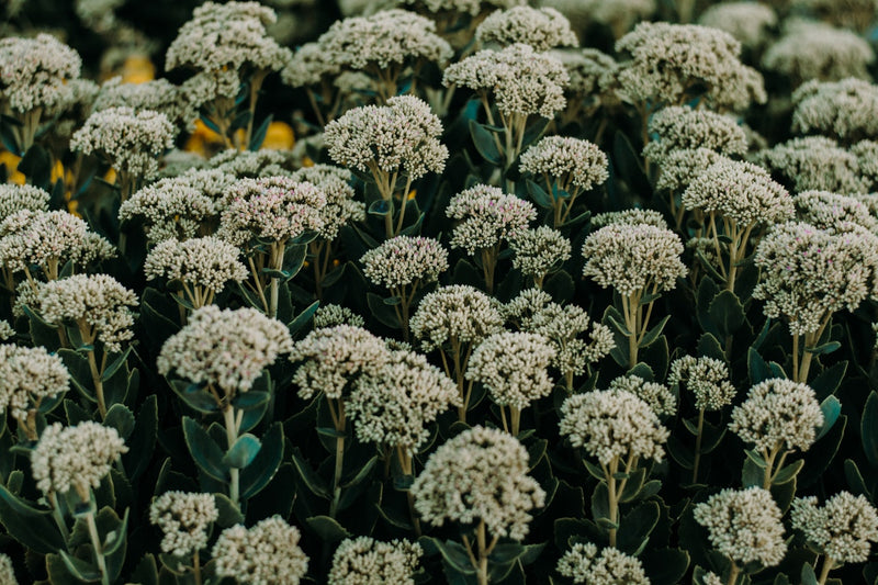 Feature Flower Friday: Yarrow