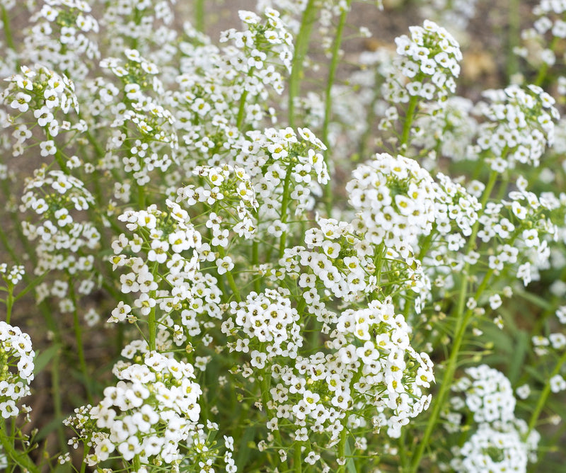 Feature Flower Friday: Baby's Breath - from Garden of Eden Flower Shop