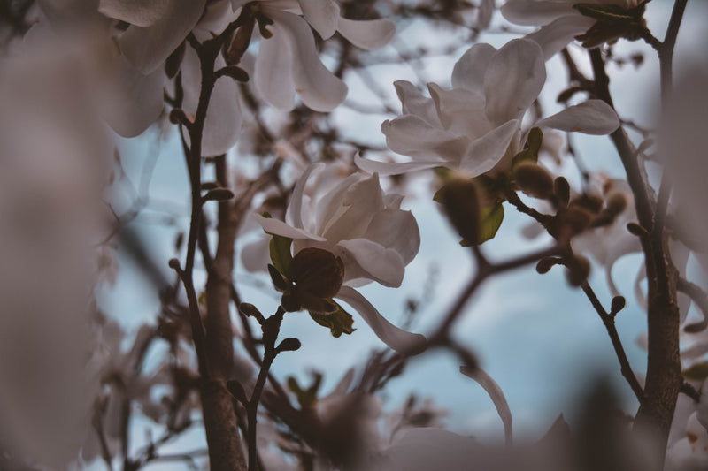 Feature Flower Friday: Magnolias