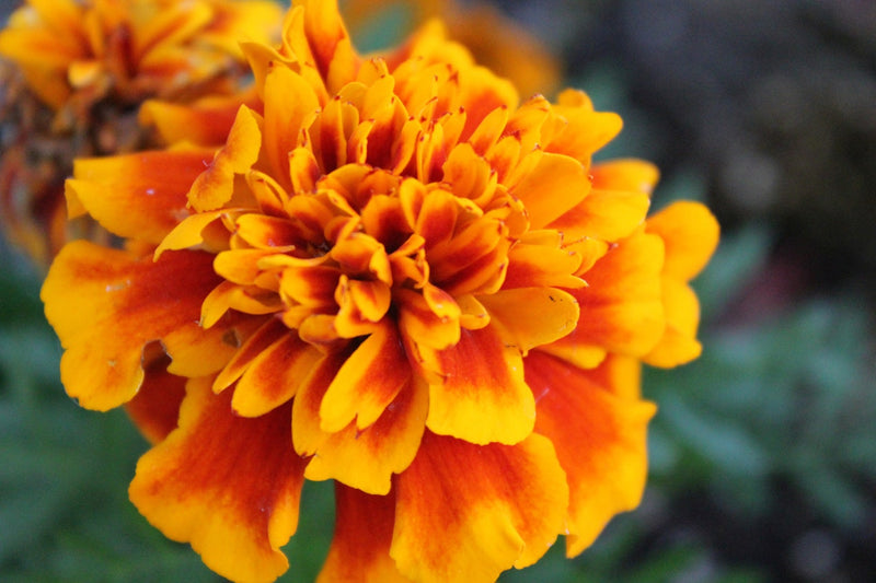 Feature Flower Friday: Marigolds