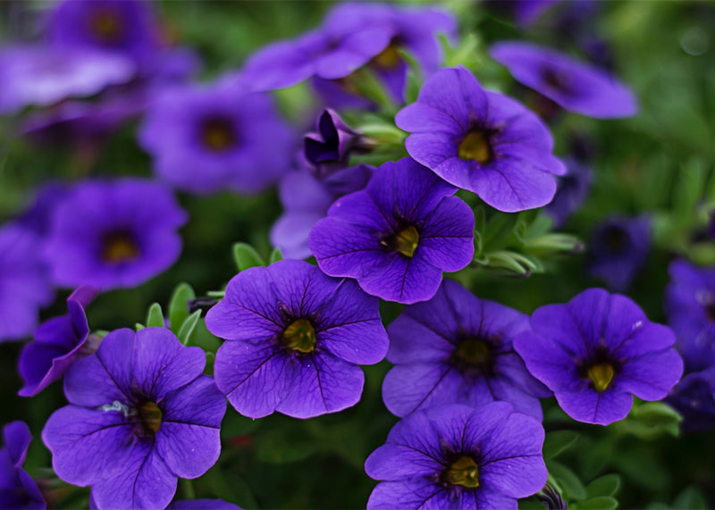 Feature Flower Friday: Petunias