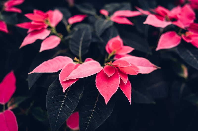 Feature Flower Friday: Poinsettias