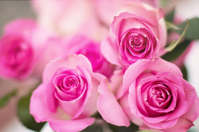 Feature Flower Friday: Pink Roses