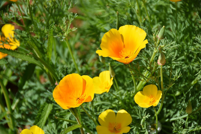 Feature Flower Friday: Poppy