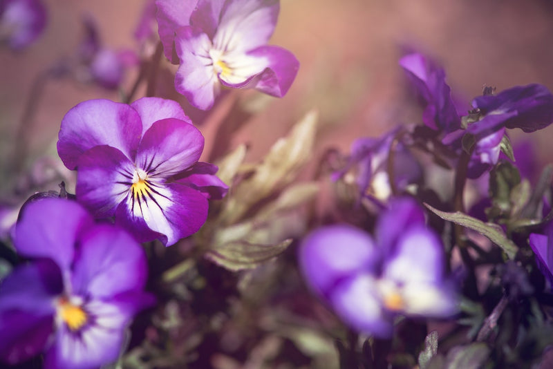 Feature Flower Friday: Violets