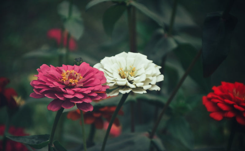 Feature Flower Friday: Zinnias