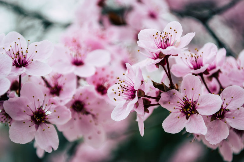 Feature Flower Friday: Cherry Blossom