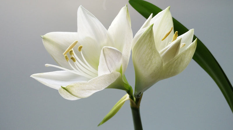 Feature Flower of the Week: White Easter Lilies