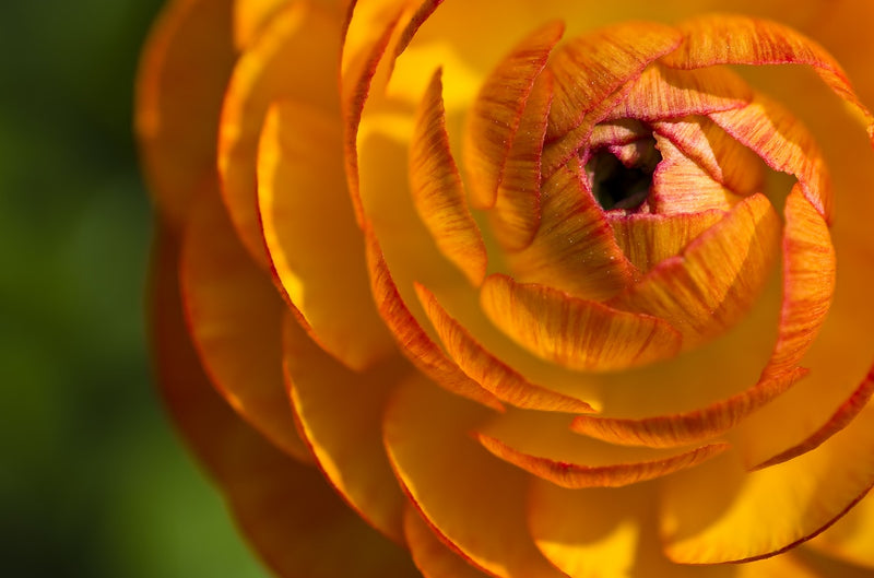 Feature Flower Friday: Ranunculus