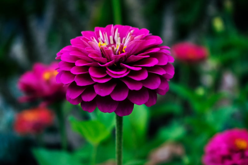 Feature Flower Friday: Dahlias