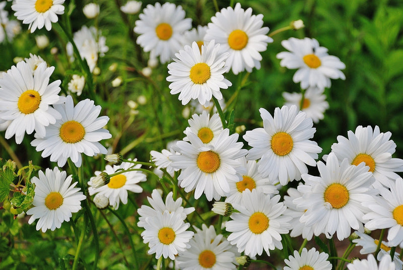 Feature Flower Friday: Daisies