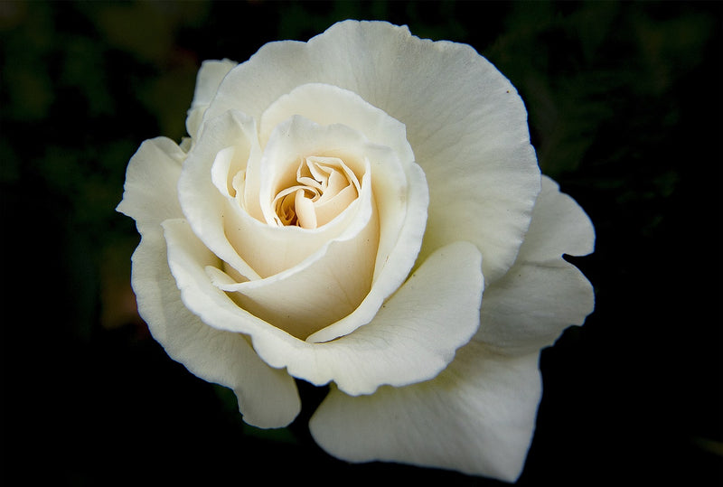 Feature Flower Friday: White Rose