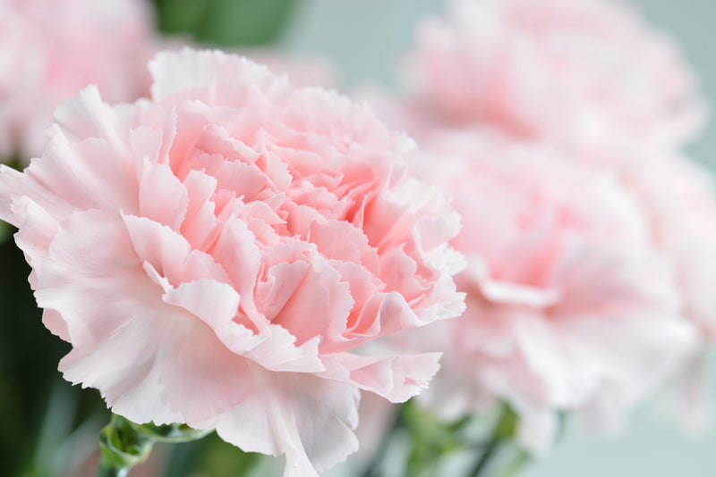 Close up of pink carnation