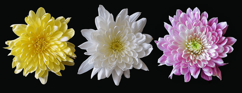 Feature Flower Friday: Chrysanthemums