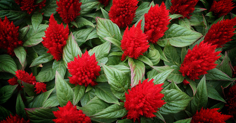 Feature Flower Friday: Cockscomb