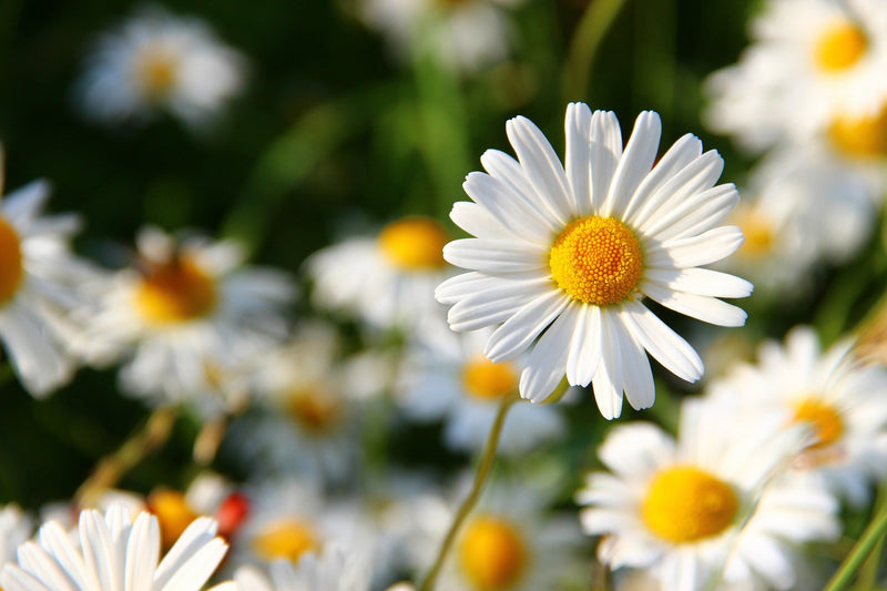 Feature Flower Daisies - from Garden of Eden Flower Shop