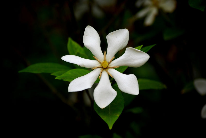 Feature Flower Friday: Gardenia