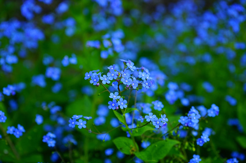 Feature Flower Friday: Forget-Me-Not