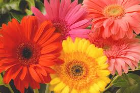 Feature Flower Friday: Gerbera Daisies - from the Garden of Eden Flower Shop