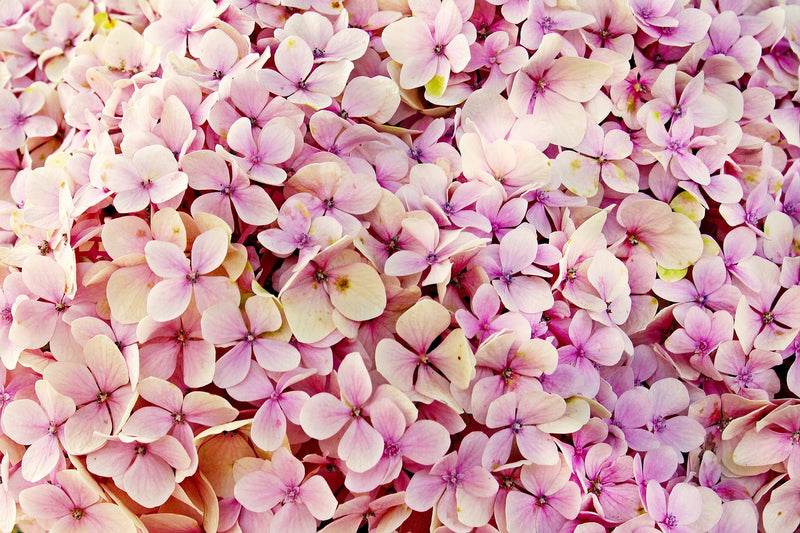 Feature Flower Friday: Hydrangeas