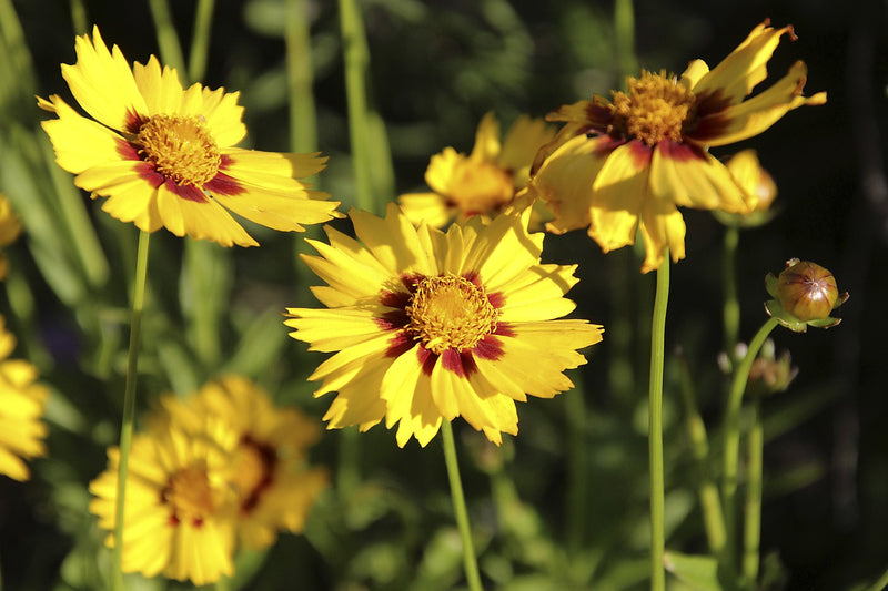 Feature Flower Friday: Coreopsis