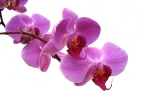 Feature Flower Friday - Orchids - from the Garden of Eden
