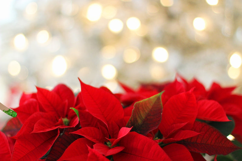 Tip of the Week: Poinsettia Care