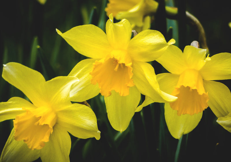 Feature Flower Daffodils - from Garden of Eden Flower Shop