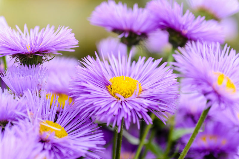 Feature Flower Aster - from Garden of Eden Flower Shop
