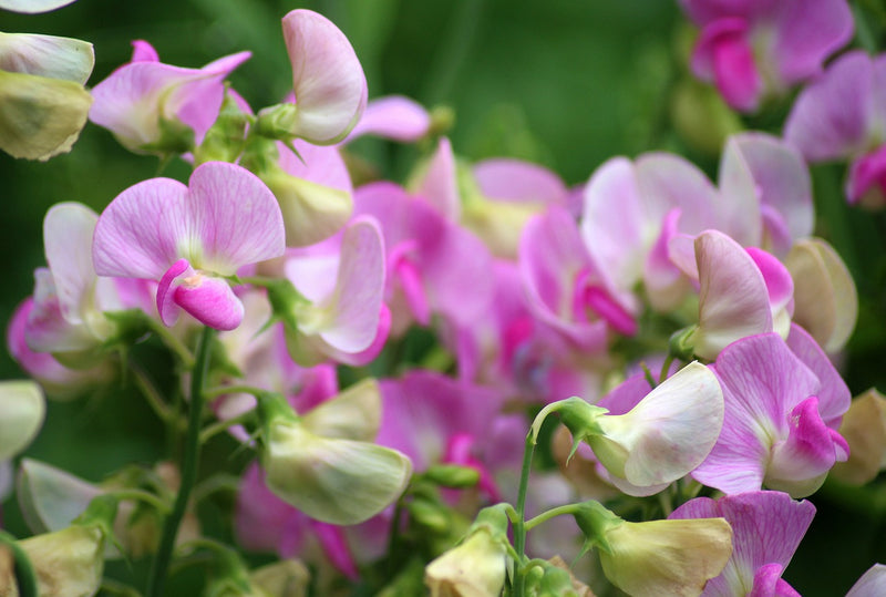 Feature Flower Friday: The Sweet Pea