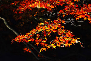 The Magic Of The Maple