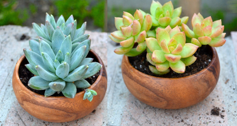 Two of a kind Echeveria Succulent (Orange and Mint Color) in wood container