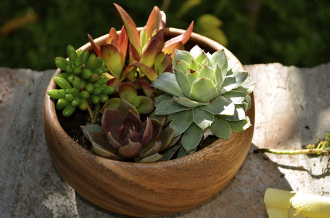 5 Assorted Succulent in Rustic Acacia wood bowl