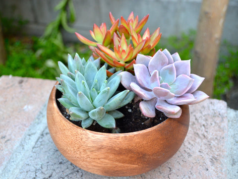 Colorful Assorted Succulent in Rustic Acacia wood bowl