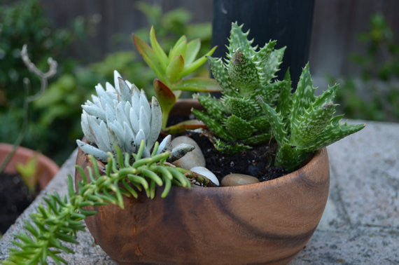 Blooming Sempervivum Succulents - Fall Florals, Hardy Plants