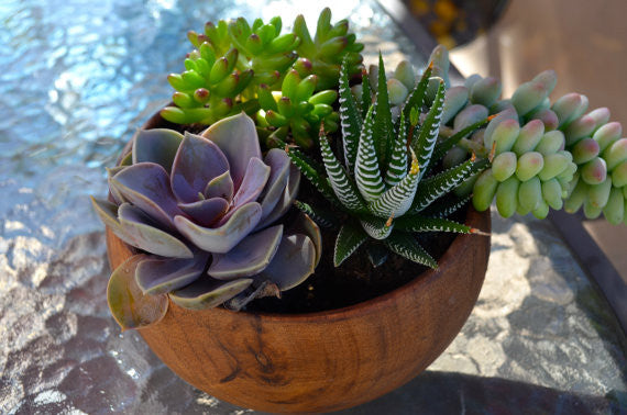 Velvety Violet Succulent in wooden container for Mother's Day Gifts