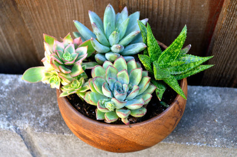 Pink and Mint Unique Succulents in Wooden Planter - Beautiful Gift for Loved ones for Mother's Day
