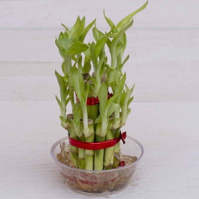 Lucky Bamboo Plant - florista-in