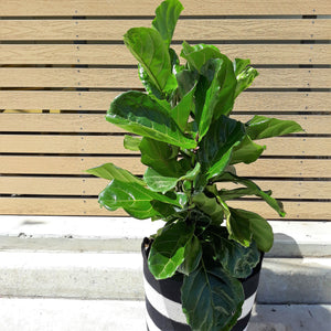 Ficus Lyrata- Fiddle leaf fig