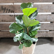 Load image into Gallery viewer, Ficus Lyrata- Fiddle leaf fig