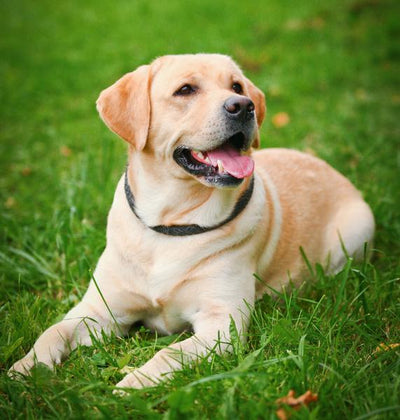 Ten Great Therapy Dog Breeds