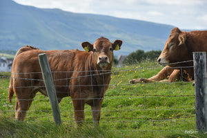 Beef animals in a green field in Ireland, with mountains in the background and fence in the foreground