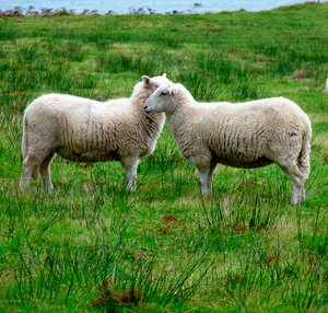 Sheep Tour - April 24th - 2 Day