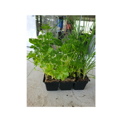 Herb Seedlings, mixed, x 6