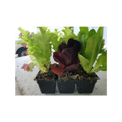 Lettuce Seedlings, mixed, x 6