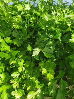 Flat leaf parsley, bunch