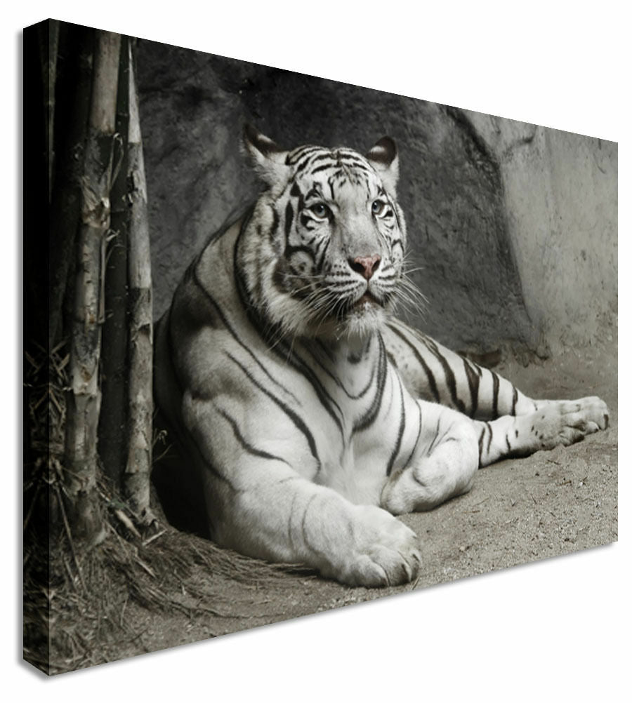 White Tiger Laying  Canvas Wall Art Picture Print