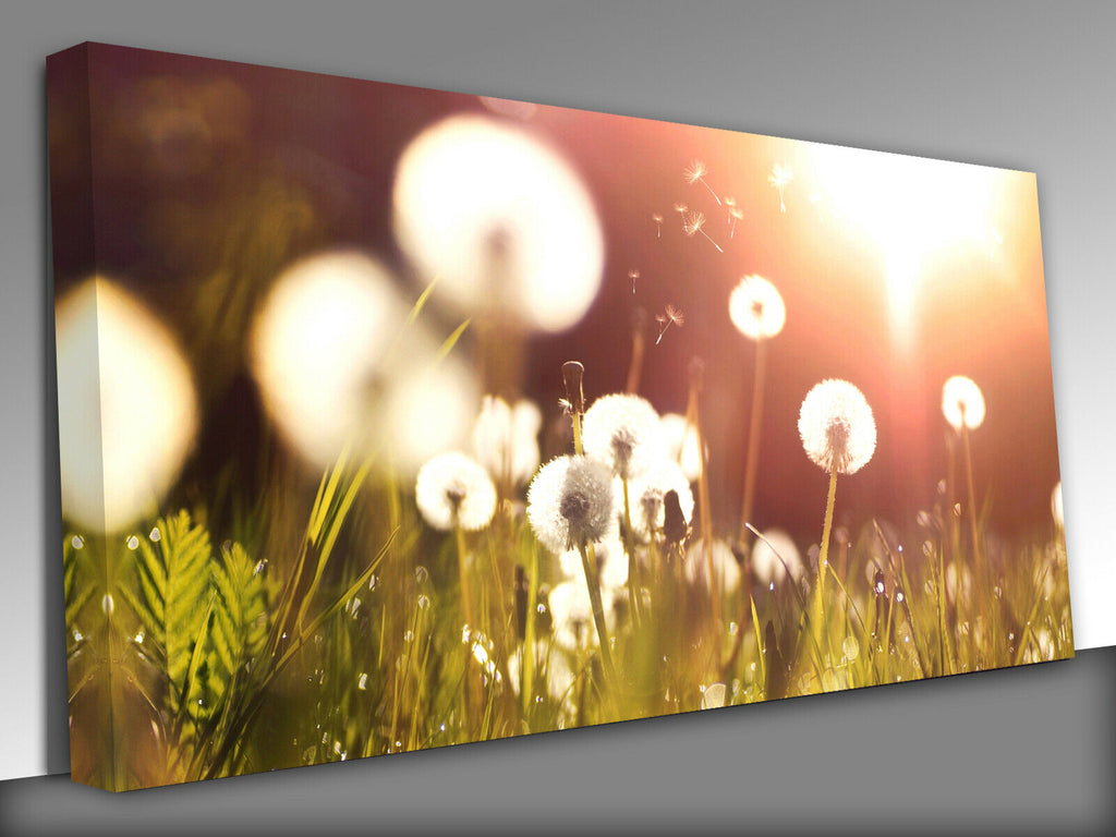 Fluffy dandelions glow in sunlight  Panoramic Canvas Wall Art Picture Print