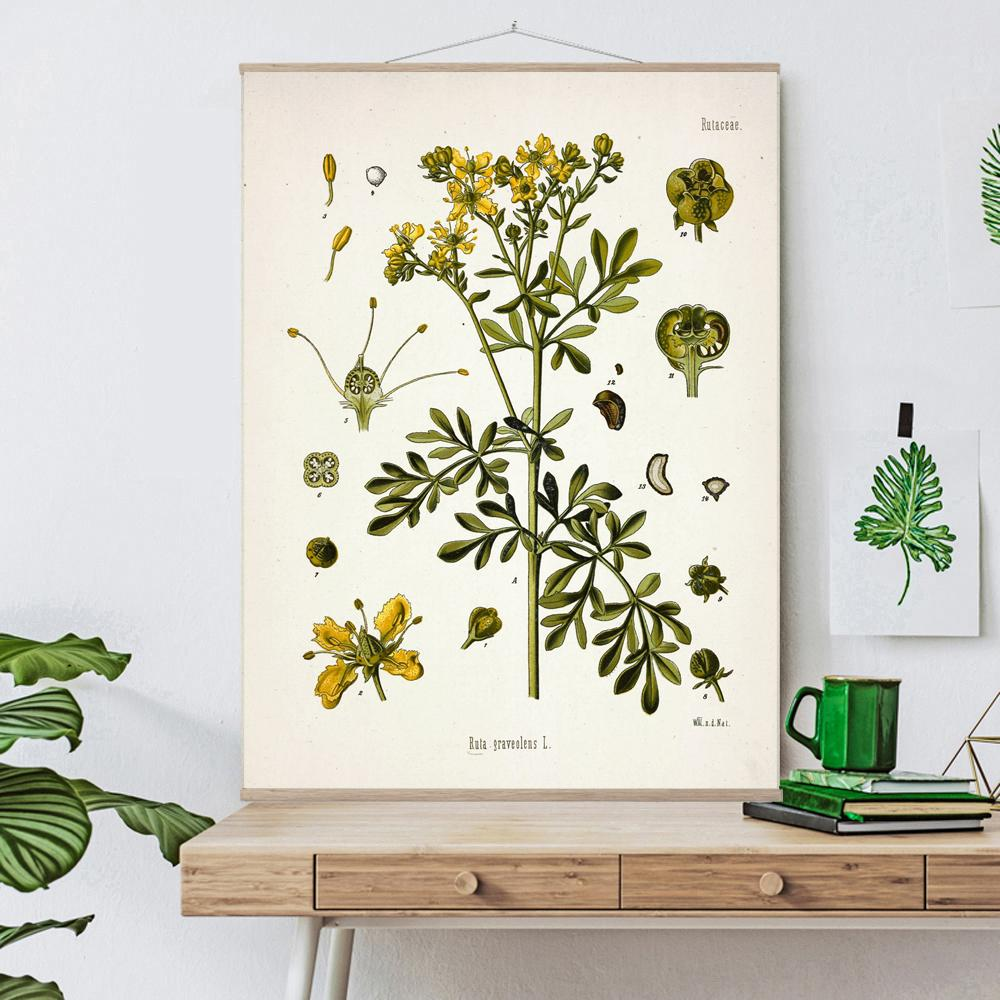 Vintage Botanical Common rue Art Print